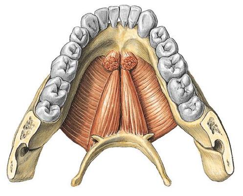 Los músculos de la masticación « Futuro fonoaudiólogo